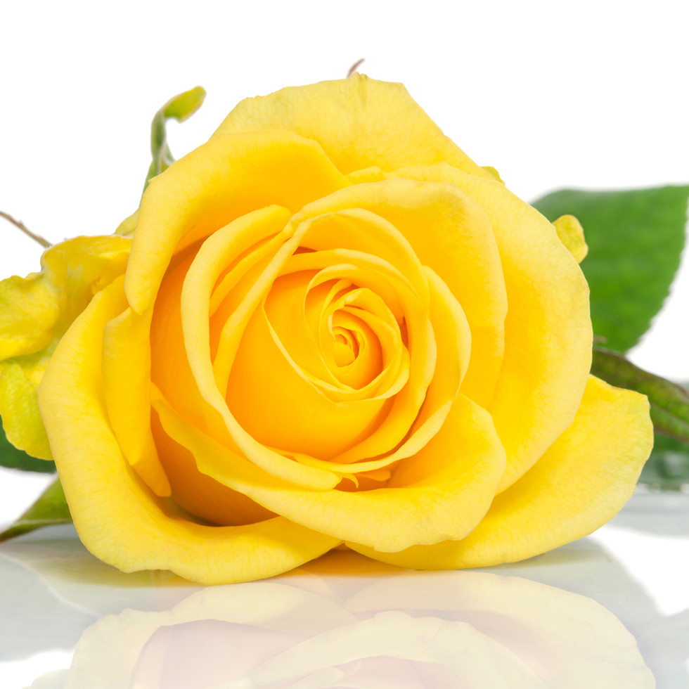 yellow-rose-isolated-white.jpg
