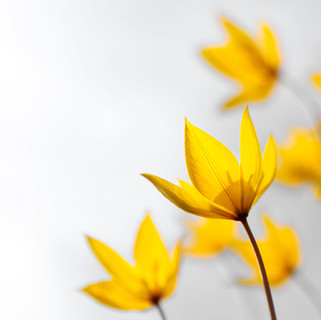 wild-yellow-spring-rare-flowers-tulip-sc