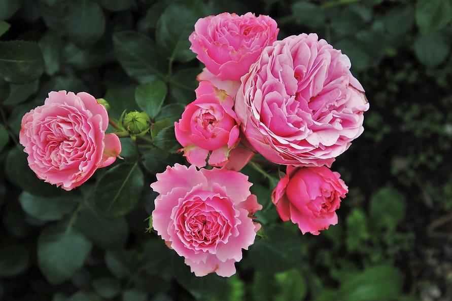 roses-3481982_1920-min.jpg