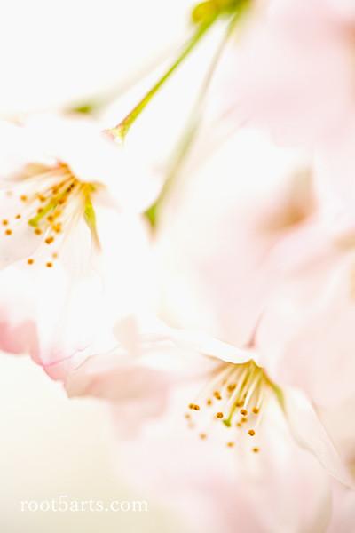 【土】桜.jpg