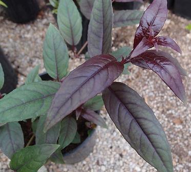 Fuchsia 'Jardin Jungle 16'.jpg