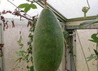 Passiflora aff tripartita