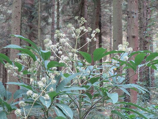 Schefflera gracilis CHB06.VI, jungle garden, exotic garden of normandy