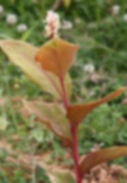 Hedychium longipedunculatum CHB13.CH105 au jardin jungle, jardin a visiter en normandie