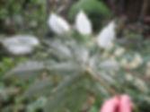Schefflera minutistellata cgg14164, Karlostachys Jungle Garden, famous gardens of france