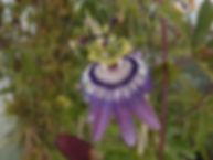 Passiflora 'jardin jungle 93' pink frost hardy passiflora