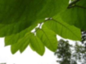 Reynoutria sachalinensis, Jardin Jungle Karlostachys