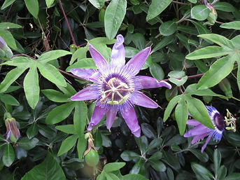 Passiflora 'Blue surprise' au jardin jungle