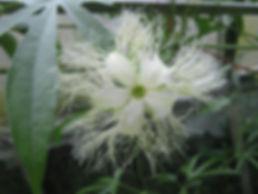 Trichosanthes rosthornii, jardin jungle karlostachys, parc a visiter en normandie