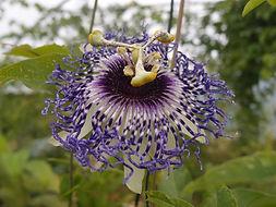 Passiflora 'jardin jungle 7', jardin jungle