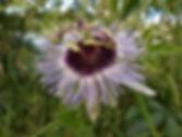 Passiflora 'jardin jungle 15', cold hardy passiflora