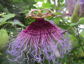 Passiflora cincinnata 'dark pollen' at the Karlostachys Jungle garden