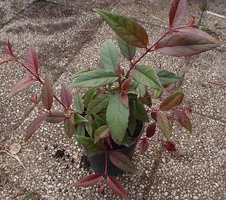 Fuchsia 'Jardin Jungle 9'.jpg