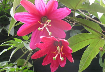 Passiflora x exoniensis, jardin jungle Karlostachys, jardin de Normandie a visiter