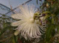 Passiflora 'jardin jungle 66'.JPG