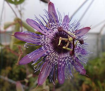 Passiflora 'Jardin Jungle 111', passiflore rustique
