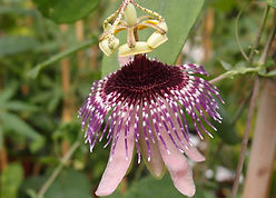 Passiflora smithii, karlostachys jungle garden