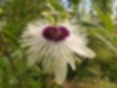 Passiflora 'jardin jungle 18', passiflore rustique