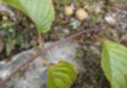 Actinidia pilosula CHB&CM08SIK69, jardin jungle, jardin de normandie a visiter