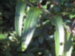 Smilax biumbellata CHB09.VI, jardin jungle karlostachys