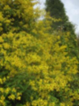 Senecio scandens incisus CHB03.CH13, karlostachys jungle garden, place of Normandy to visit
