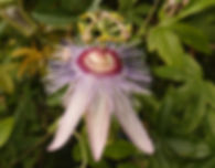 Passiflora 'jardin jungle 71'.JPG