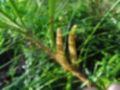 Cathaya argyrophylla, jardin jungle karlostachys, parc botanique a visiter en normandie