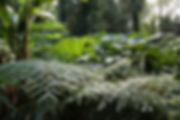 Lophosoria, Gunnera & Musa, jardin jungle, seine maritime