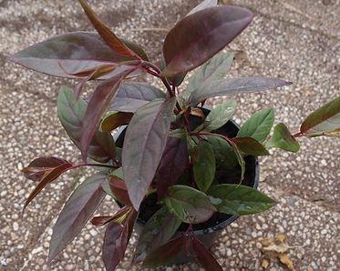 Fuchsia 'Jardin Jungle 8'.jpg