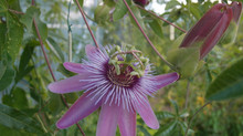 Passiflora 'jardin jungle 32'