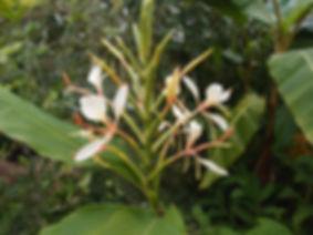 Hedychium 'Jardin Jungle 1'.JPG