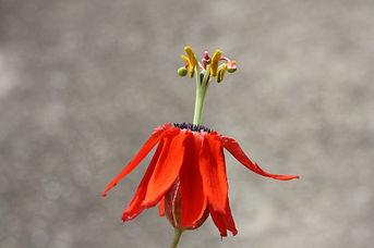 Passiflora manicata, jardin jungle, jardin exotique a visiter