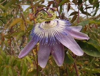 Passiflora 'Jardin Jungle 104', cold hardy passion flower from the jungle gardencold hardy
