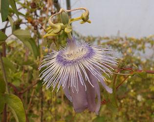 Passiflora 'jardin jungle 45'.JPG