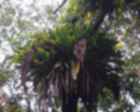 Vriesia bituminosa