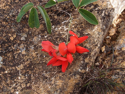 Camptosema coriaceum BBM19.BR263, jardin jungle