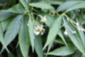 Platycrater arguta, karlostachys jungle garden