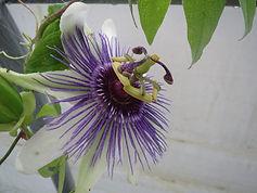 Passiflora  x colvillii  'Jules Dierckx', jardin jungle