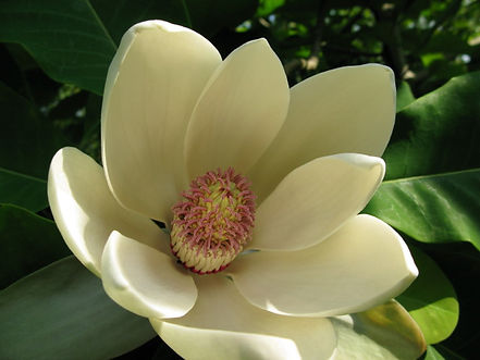 Magnolia officinalis, jardin jungle karlostachys, haute-normandie, eu