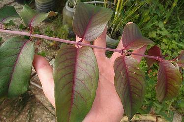 Fuchsia regia BBM19.BR236 (orgaos)