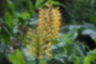 Hedychium gardnerianum (Bhutan form) at Karlostachys Jungle Garden
