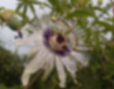 Passiflora 'jardin jungle 16', passiflore rustique