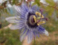 Passiflora 'jardin jungle 80', passiflores rustique; jardin jungle