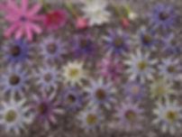 collection de passiflore du jardin jungle, jardin exotique normandie