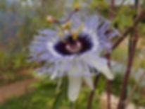 Passiflora 'jardin jungle 94' passiflore rustique