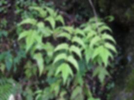 Cyrtomium caryotideum CHB11.T, karlostachys jungle garden