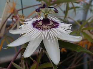 Passiflora 'Jardin Jungle 113'.JPG