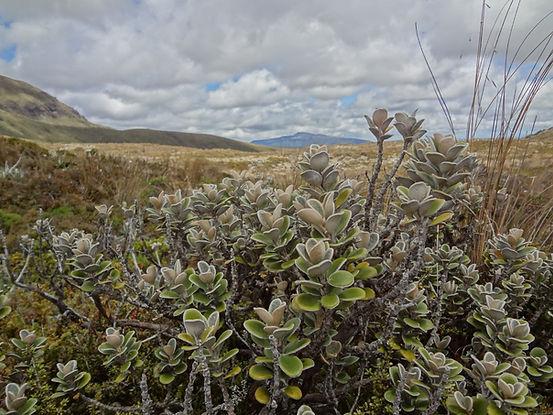 Brachyglottis bidwillii, Tongariro national park, New Zealand 2012
