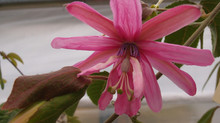 Passiflora 'jardin jungle 35'