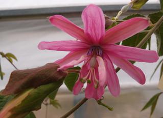 Passiflora 'jardin jungle 35'